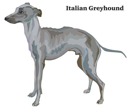 Portrait of standing in profile Italian Greyhound, vector colorful illustration isolated on white background