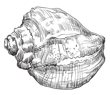 Monochrome vector hand drawing illustration of Conch Shell, seashell in black color isolated on white background.