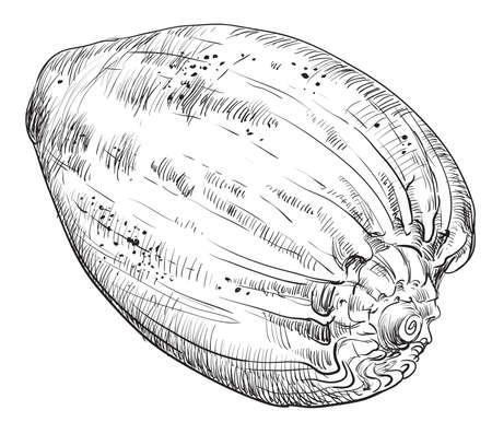 Hand tekening zeeschelp. Vector zwart-wit illustratie van zeeschelp die op witte achtergrond wordt geïsoleerd. Stockfoto - 95504495
