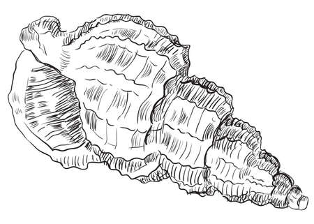 Hand drawing seashell. Vector monochrome illustration of seashell (Conch Shell) isolated on white background.