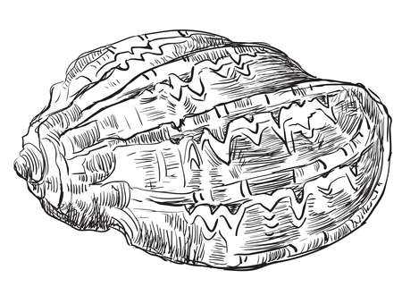貝殻の手描きスケッチ。白い背景に分離された貝殻のベクターモノクロ図。   イラスト・ベクター素材