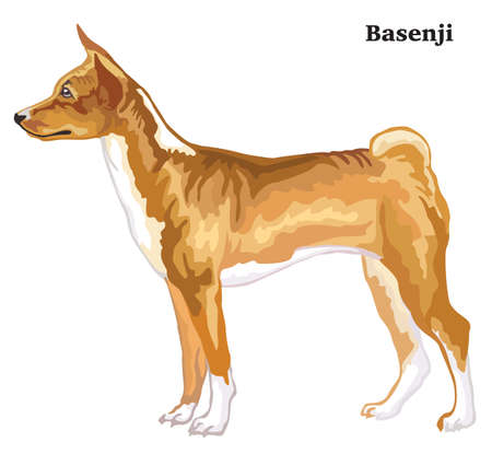 Portrait of standing in profile dog Basenji, vector colorful illustration isolated on white background
