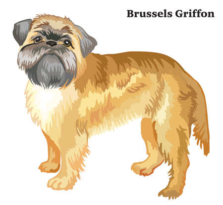 Portrait of standing in profile dog Brussels Griffon, vector colorful illustration isolated on white background Çizim