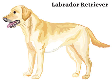 Portrait of standing in profile dog Labrador Retriever, vector colorful illustration isolated on white background