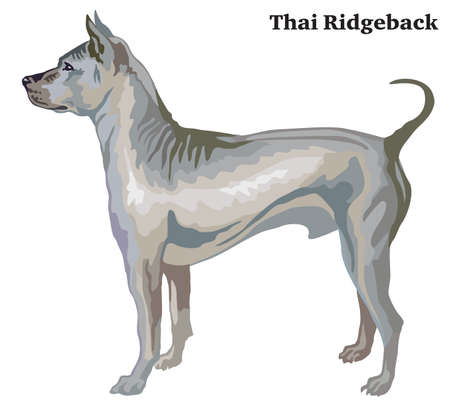 Portrait of standing in profile Thai Ridgeback, vector colorful illustration isolated on white background