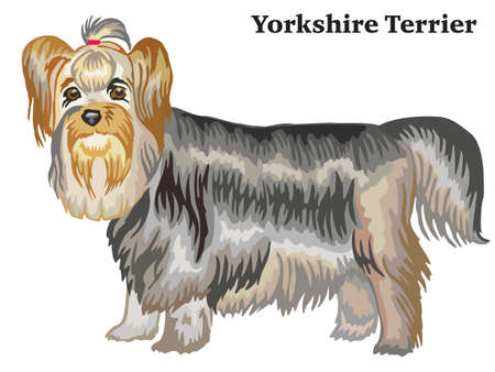 Portrait of standing in profile dog Yorkshire Terrier, vector colorful illustration isolated on white background Иллюстрация