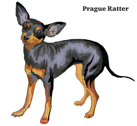Portrait of standing in profile dog Prague Ratter, vector colorful illustration isolated on white background.