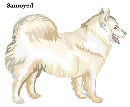 Portrait of standing in profile dog Samoyed, vector colorful illustration isolated on white background.