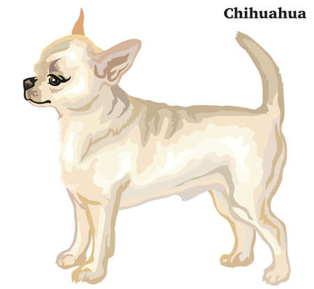 Portrait of standing in profile dog short haired Chihuahua, vector colorful illustration isolated on white background.