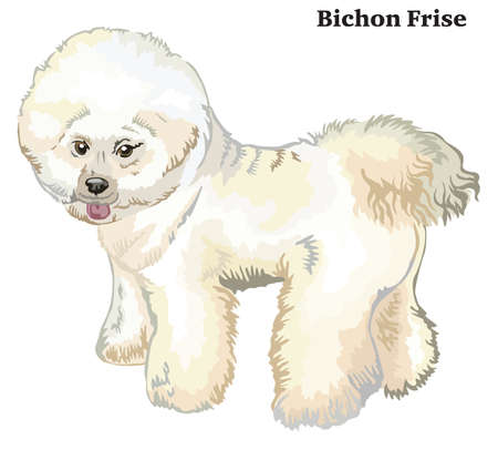 Portrait of standing in profile Bichon Frise Dog, vector colorful illustration isolated on white background.