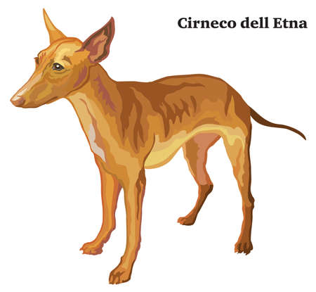 Portrait of standing in profile Cirneco dell Etna Dog, vector colorful illustration isolated on white background.