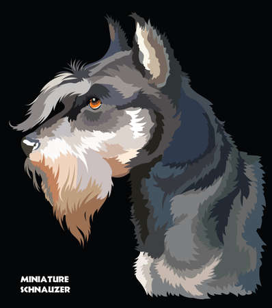Colored portrait of Schnauzer isolated vector illustration on black background.