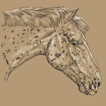 Appaloosa horse portrait vector illustration Ilustrace
