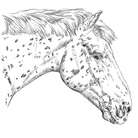 Appaloosa horse portrait vector illustration Illustration