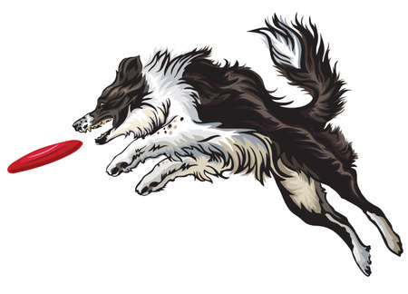 Vector colorful illustration with dog (border collie) isolated on white background. Fluffy black and white dog in profile view jumping and catching red plastic disc
