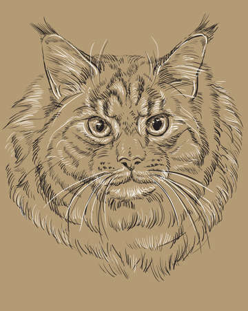 Vector outline monochrome portrait of fluffy and angry Maine Coon Cat in black and white colors. Illustration