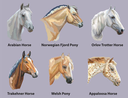 Set of portraits of horses and pony breeds (Trakehner horse, Welsh Pony, Orlov Trotter, Arabian horse, Appaloosa horse, Norwegian fjord pony) isolated on purple background. Vector colorful illustration.