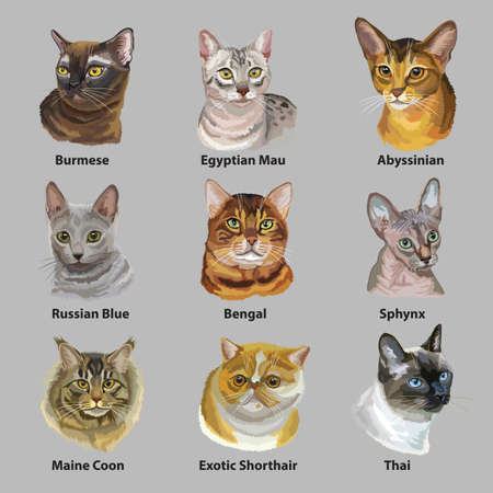 Set of colorful vector portraits of cats  breeds (Exotic Shorthair, Abyssinian, Bengal , Burmese, Egyptian Mau, Maine Coon, Russian Blue, Sphynx , Thai cats) isolated on gray background
