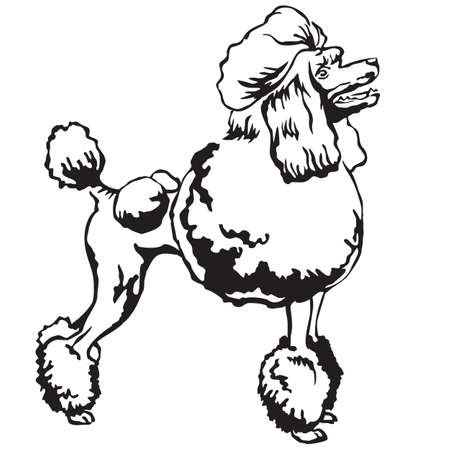 Decorative portrait of standing in profile Poodle, vector isolated illustration in black color on white background