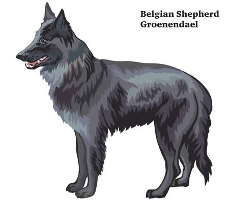 Colorful decorative portrait of standing in profile Belgian Shepherd (Groenendael), vector isolated illustration on white background