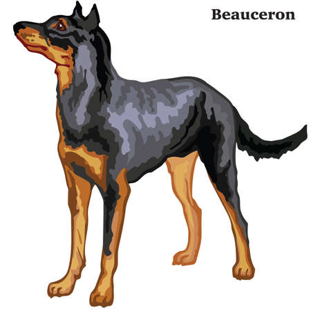 Colorful decorative portrait of standing in profile Beauceron (sheepdog from Beauce), vector isolated illustration on white background