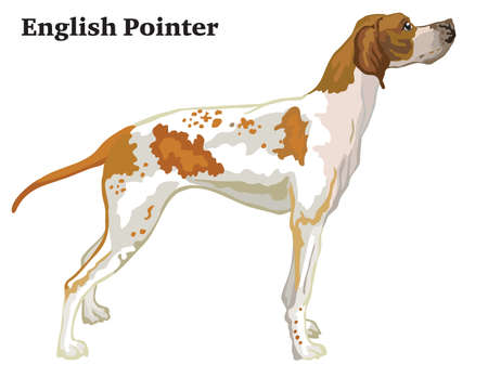 Colorful decorative portrait of standing in profile English Pointer, vector isolated illustration on white background