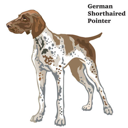 Colorful decorative portrait of standing in profile German Shorthaired Pointer, vector isolated illustration on white background Stock Illustratie