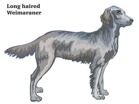 Colorful decorative portrait of standing in profile longhair Weimaraner, vector isolated illustration on white background  イラスト・ベクター素材