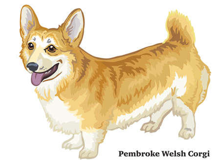 Colorful decorative portrait of standing in profile Pembroke Welsh Corgi, vector isolated illustration on white background Illustration