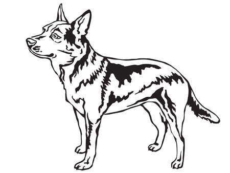 Decorative portrait of standing in profile Australian Cattle Dog, vector isolated illustration in black color on white background 일러스트