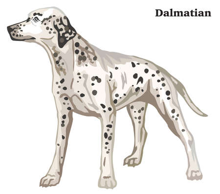 Portrait of standing in profile Dalmatian dog, vector colorful illustration isolated on white background