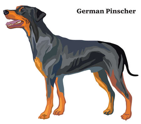 Portrait of standing in profile German Pinscher (standart size), vector colorful illustration isolated on white background