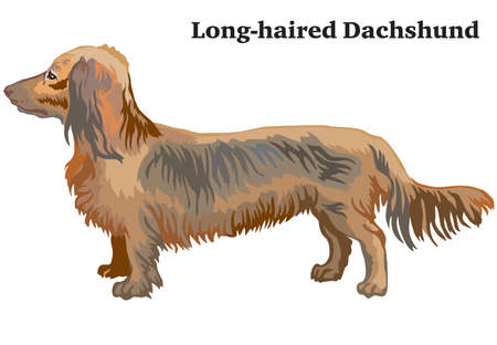 Portrait of standing in profile Long-haired Dachshund, vector colorful illustration isolated on white background