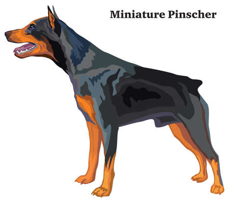 Portrait of standing in profile Miniature Pinscher dog, vector colorful illustration isolated on white background