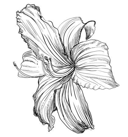 Hand drawn lilium flower. Vector monochrome illustration isolated on white background.