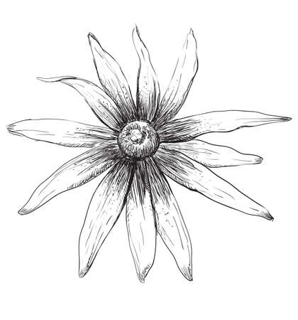 Hand drawn Rudbeckia flower. Vector monochrome illustration isolated on white background.