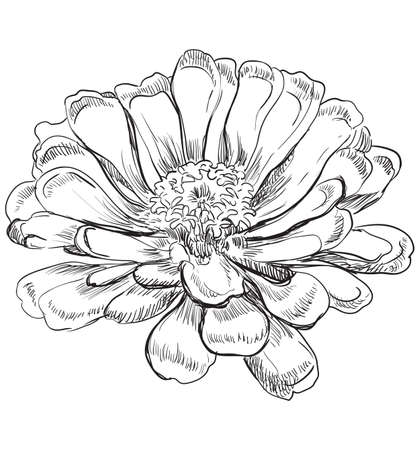 Hand drawn Zinnia flower. Vector monochrome illustration isolated on white background.