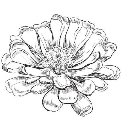 Hand drawn Zinnia flower. Vector monochrome illustration isolated on white background. Illustration