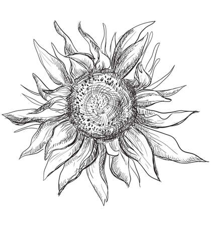Hand drawn Sunflower flower. Vector monochrome illustration isolated on white background.