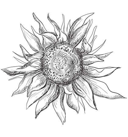Hand drawn Sunflower flower. Vector monochrome illustration isolated on white background.