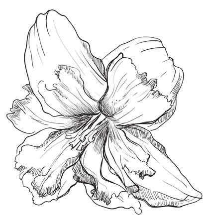 Ręcznie rysowane kwiat Narcyza. Wektor ilustracja monochromatyczne na białym tle.