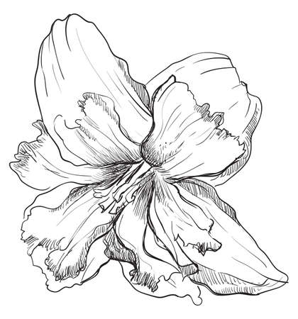 Hand drawn Narcissus flower. Vector monochrome illustration isolated on white background.