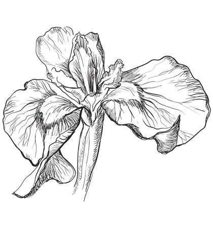 Hand drawn Iris flower. Vector monochrome illustration isolated on white background. Ilustração Vetorial