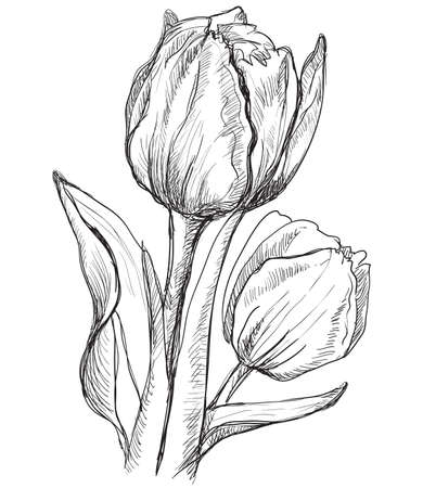 Hand drawn Tulip flower. Vector monochrome illustration isolated on white background.  イラスト・ベクター素材