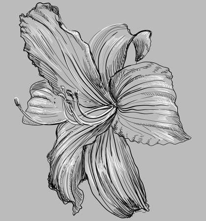 Flor de Lilium dibujada a mano. Ilustración monocromática de vector aislado sobre fondo gris.