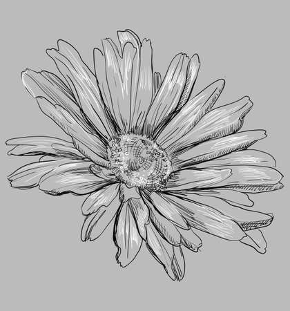 Hand drawn Chamomilla flower. Vector monochrome illustration isolated on grey background.