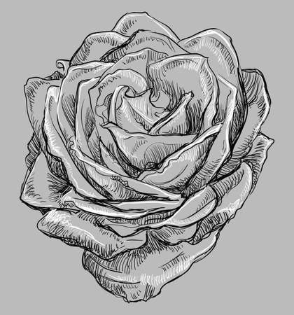 Hand drawn rose flower. Vector monochrome illustration isolated on grey background.