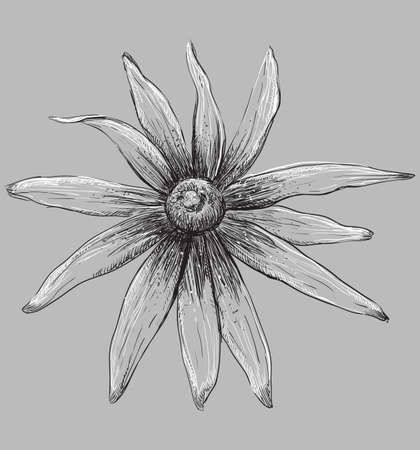 Hand drawn Rudbeckia flower. Vector monochrome illustration isolated on grey background.