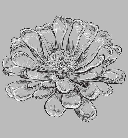 Hand drawn Zinnia flower. Vector monochrome illustration isolated on grey background. Stok Fotoğraf - 112307260