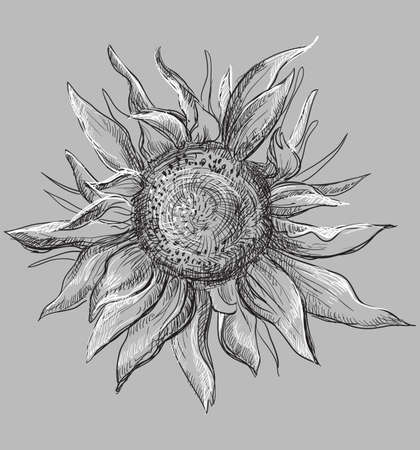 Hand drawn sunflower flower. Vector monochrome illustration isolated on grey background. Stok Fotoğraf - 112307261
